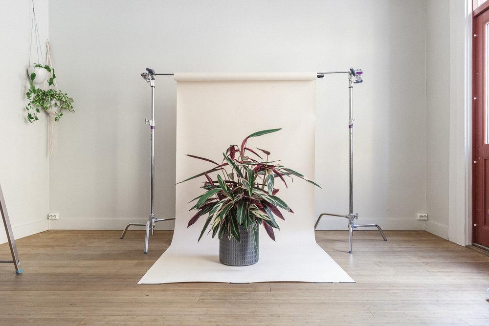 stromanthe planteportrett gromagasinet