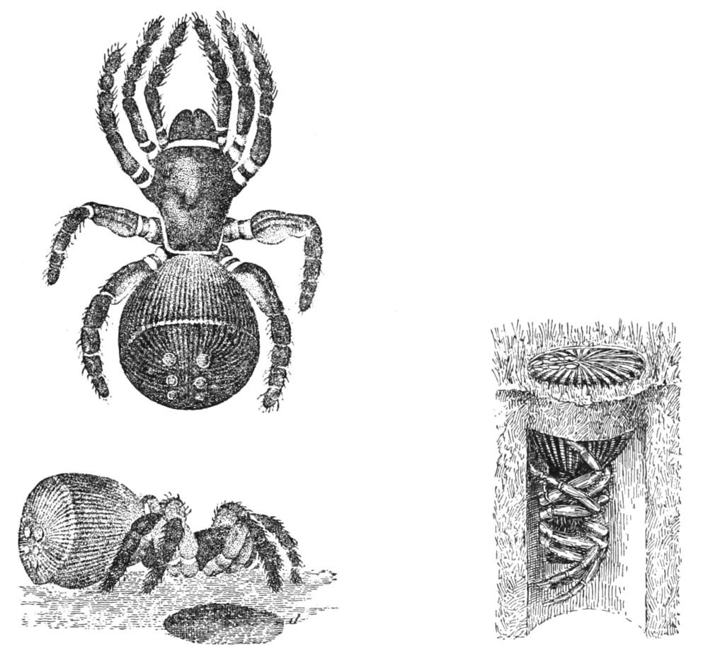 Study of Hourglass Spider--public domain. See footnote 2.