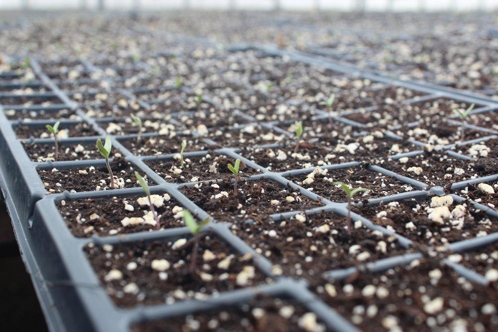 Watermelon Seedling.JPG
