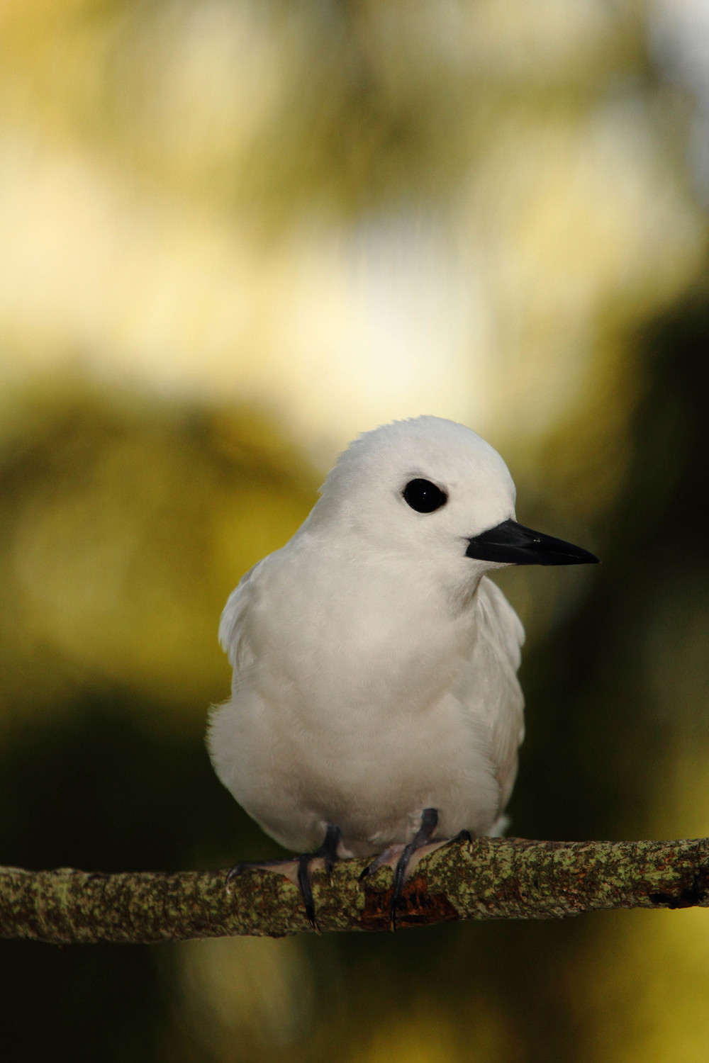 White Tern, Midway Island