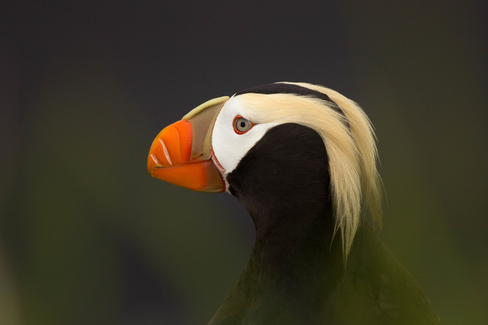 Tufted Puffin, St. Paul Island