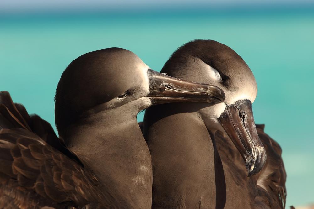 Black-footed Albatross, Tern Island