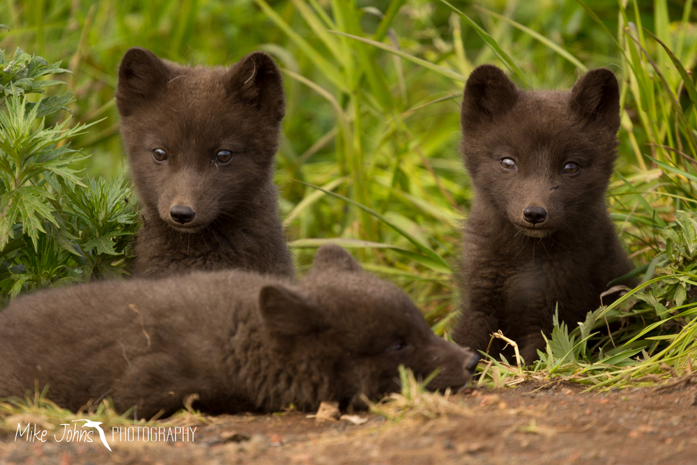 Arctic Fox Pups, St. Paul Island