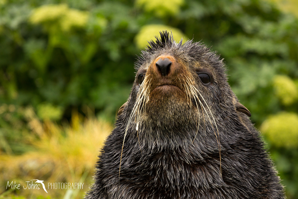 Northern Fur Seal, St. Paul Island