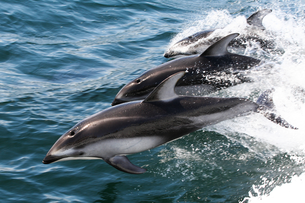 Pacific White-sided Dolphins, Monterey Bay