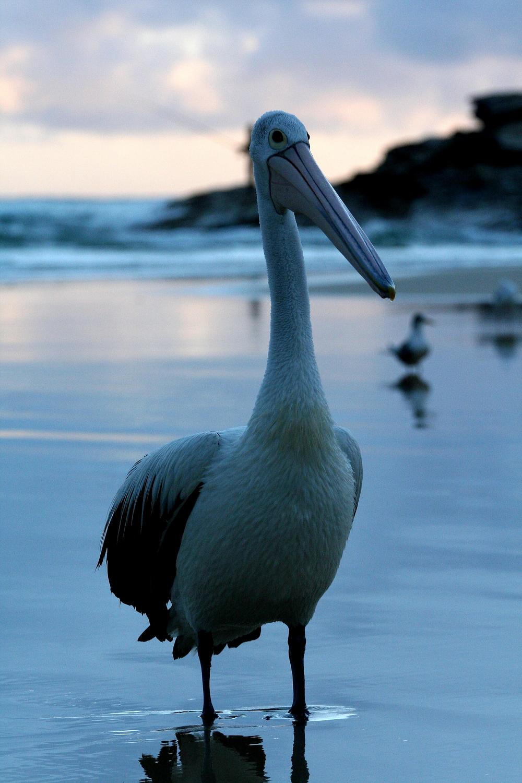 Australian Pelican, North Stradbroke Island AUS