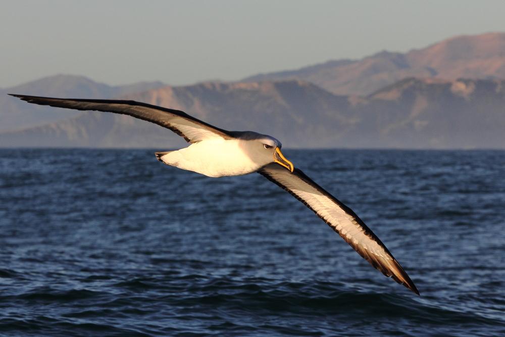 Buller's Albatross, Kaikoura NZ