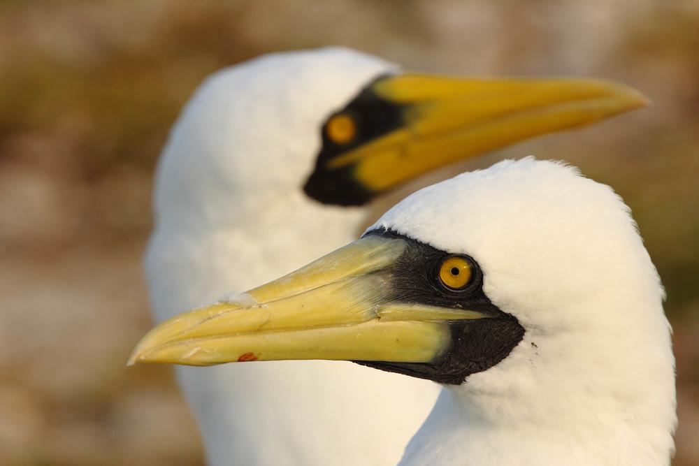 Masked Boobies, Tern Island