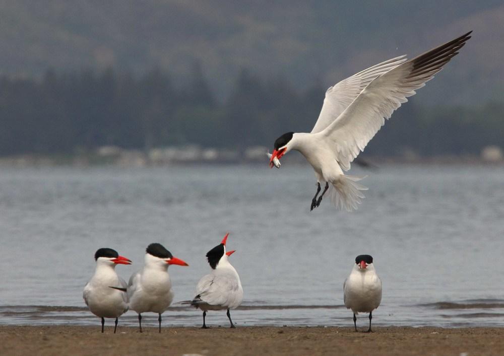 Caspian Terns, Columbia River