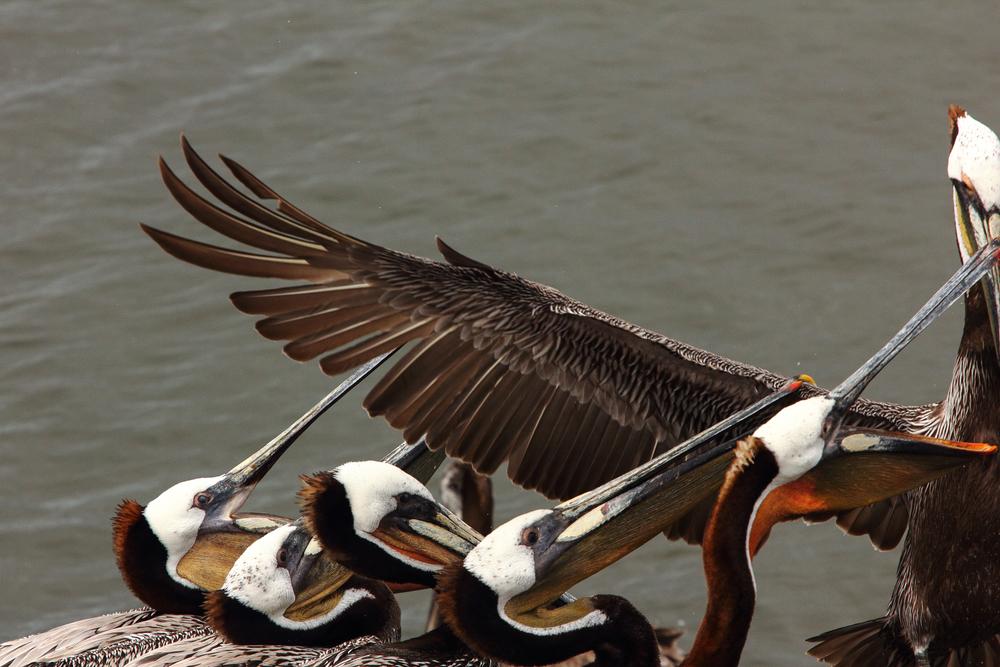 Brown Pelicans, Columbia River
