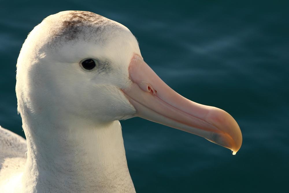 Wandering Albatross, Kaikoura NZ