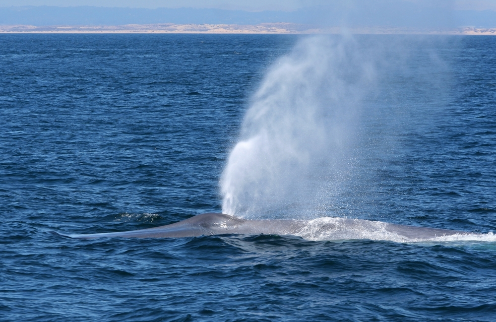 Blue Whale, Monterey Bay
