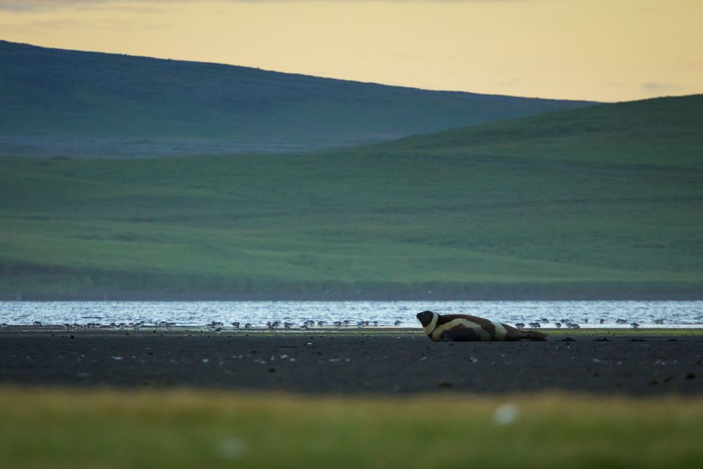 Ribbon Seal, St. Paul Island