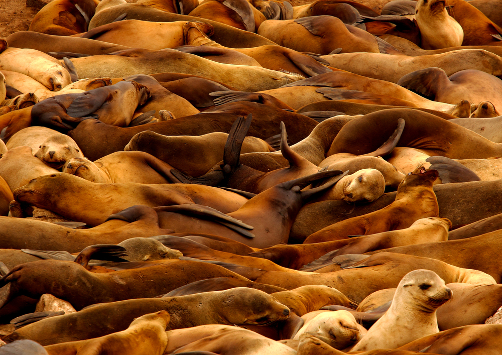 California Sea Lions, Farallon Islands