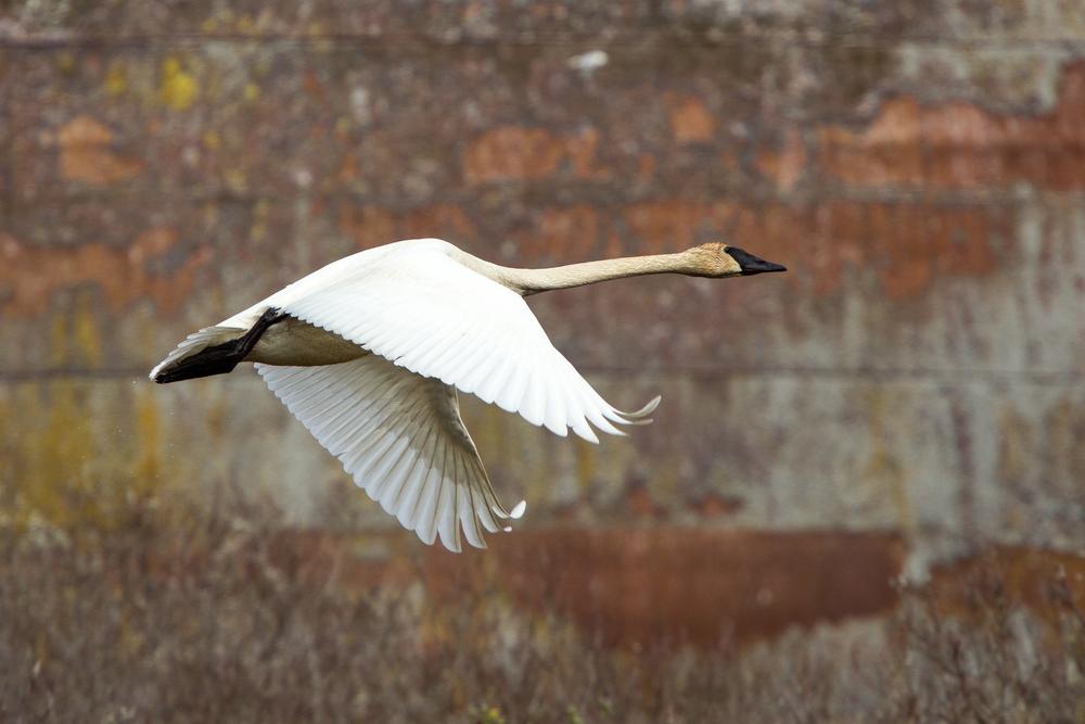 Trumpeter Swan, Middleton Island