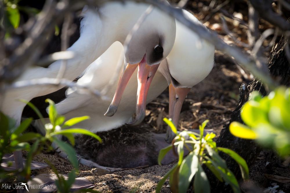 Laysan Albatross with Chick, Oahu Hawaii