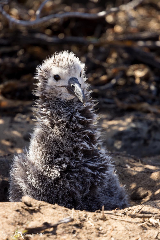 Laysan Albatross Chick, Oahu Hawaii