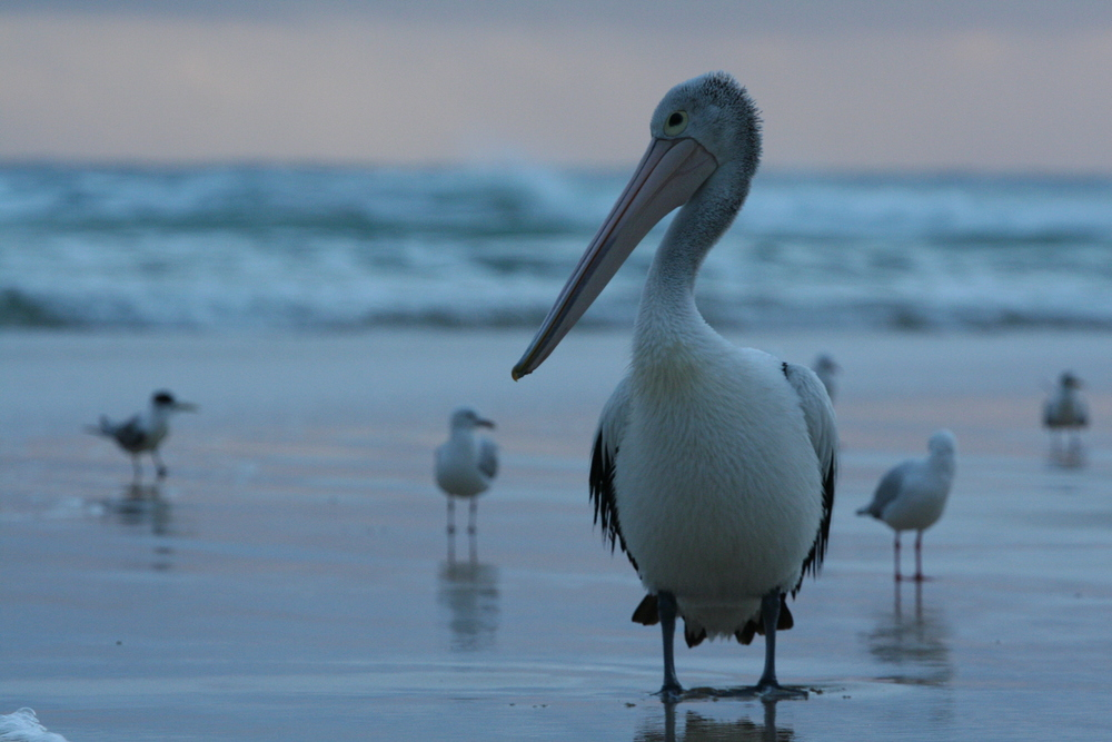 Australasian Pelican, North Stradbroke Island AUS