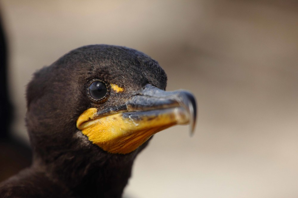 Double-crested Cormorant Chick, Columbia River