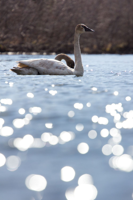 Trumpeter Swans, Seward