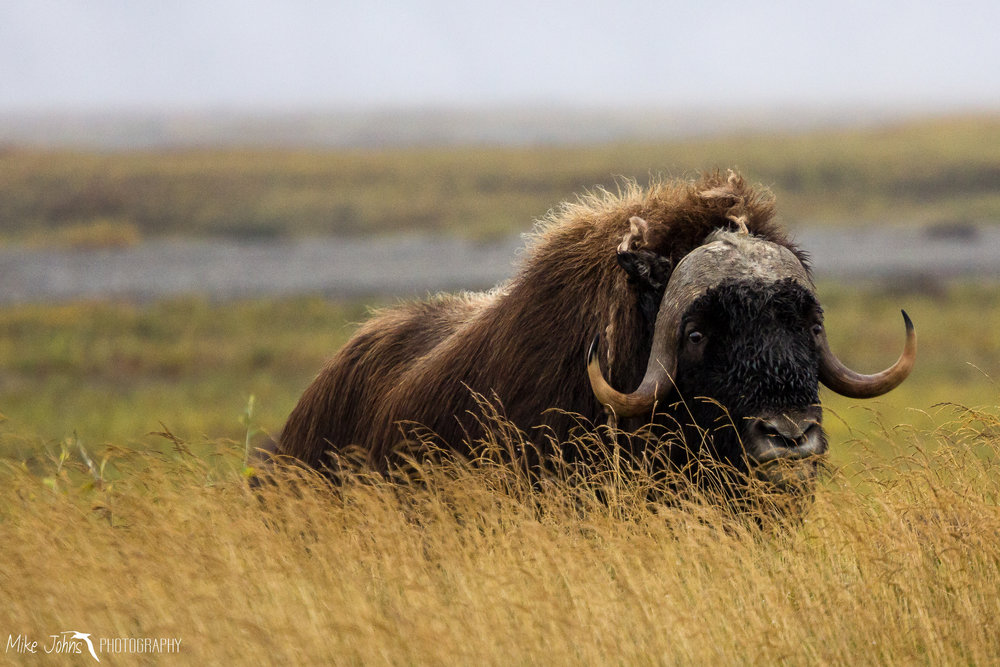 Muskox, North Slope AK