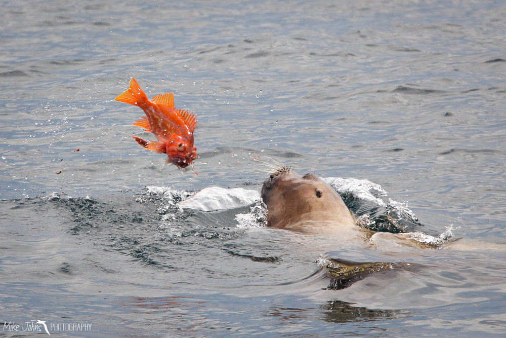Steller Sea Lion with catch