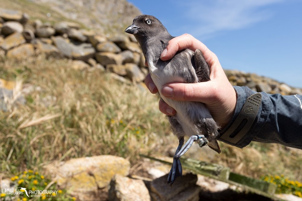 Note the geolocator tag on the left leg of this Cassin's auklet. Geolocators are devices which record ambient light levels that are later used to estimate latitude and longitude.