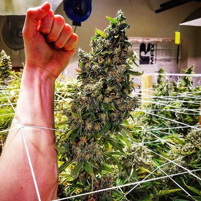Buds as big as your arms? 💪 ((📸: @kline_saucer)) . . . . . . . .  #weed #highsociety #hightimes #weedporn #bud #flower #weedstagram #weedsociety #marijuana #marijuanamania #cannabis #cannabiscommunity #cannabissociety #420 #dab #dabstagram #dabs #herbalwellnessco