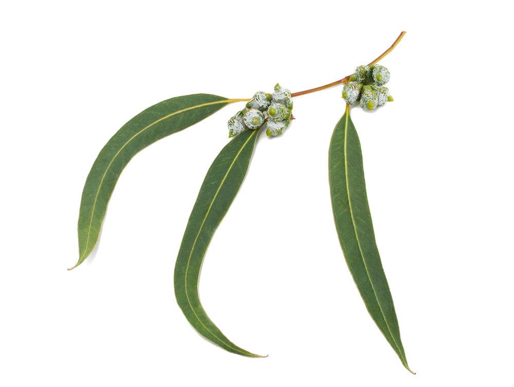 2. Eucalyptus.jpg