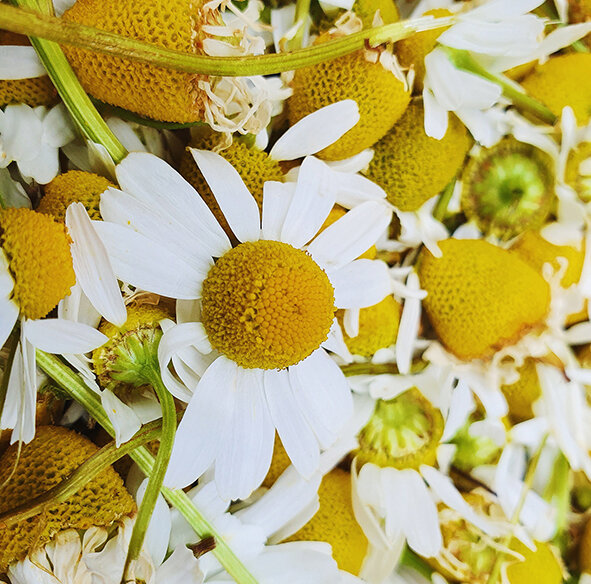 Chamomile close up