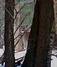 Deer in Winter - Dave Adams, Vermont Fish and Wildlife Department