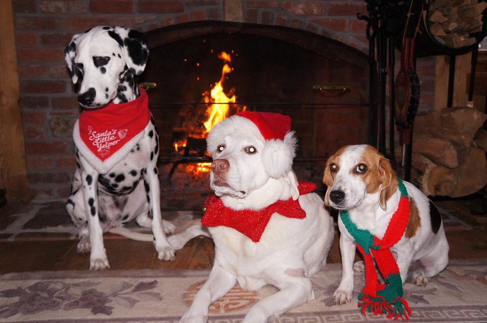 The beautiful season of Christmas, Hanukkah and New Year is here and our pets join in many of the festivities. As we approach the merriment, we must keep foremost in our minds the protection and safety of our loving, four-legged family members.  Perhaps first, we should consider whether or not the gift of a new pet is a wise choice. New pets do NOT necessarily make good holiday gifts and adding a new pet requires a huge commitment and responsibility beyond the holiday season. However, if you are truly thinking of getting a new dog or cat and have given it a great deal of careful thought and consideration, think about adopting a homeless pet who would benefit from your love and safekeeping. There are many rescue organizations, animal shelters, and humane societies with breeds of every type and of all age groups. Our physically challenged and older furry friends who have been abandoned under a myriad of circumstances are yearning for our love and embrace and can truly benefit from your open arms.  Please think long and hard before adopting a new pet during this holiday season. Let good reason rule the excitement of the heart.