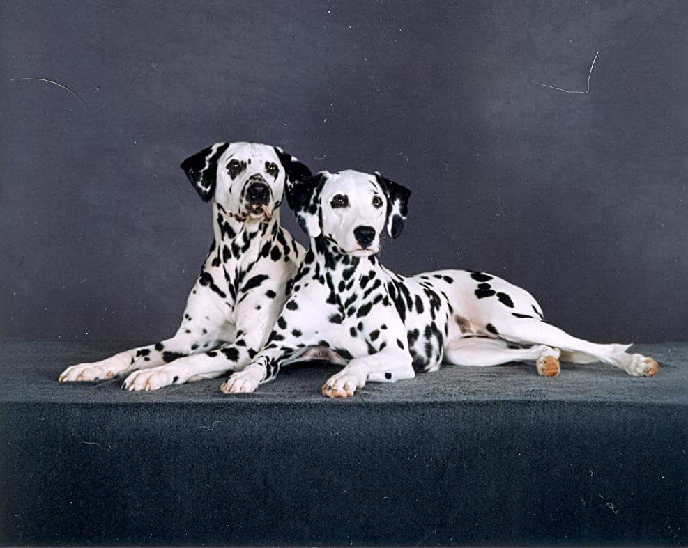 Hogan and Georgia, deaf Dalmatians