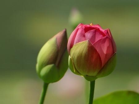 flower-bud.jpg