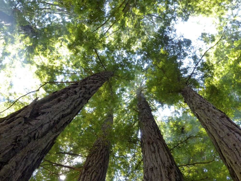 sanfrancisco_california_travel_usa_muirwoods_redwoods-363047.jpg!d.jpg