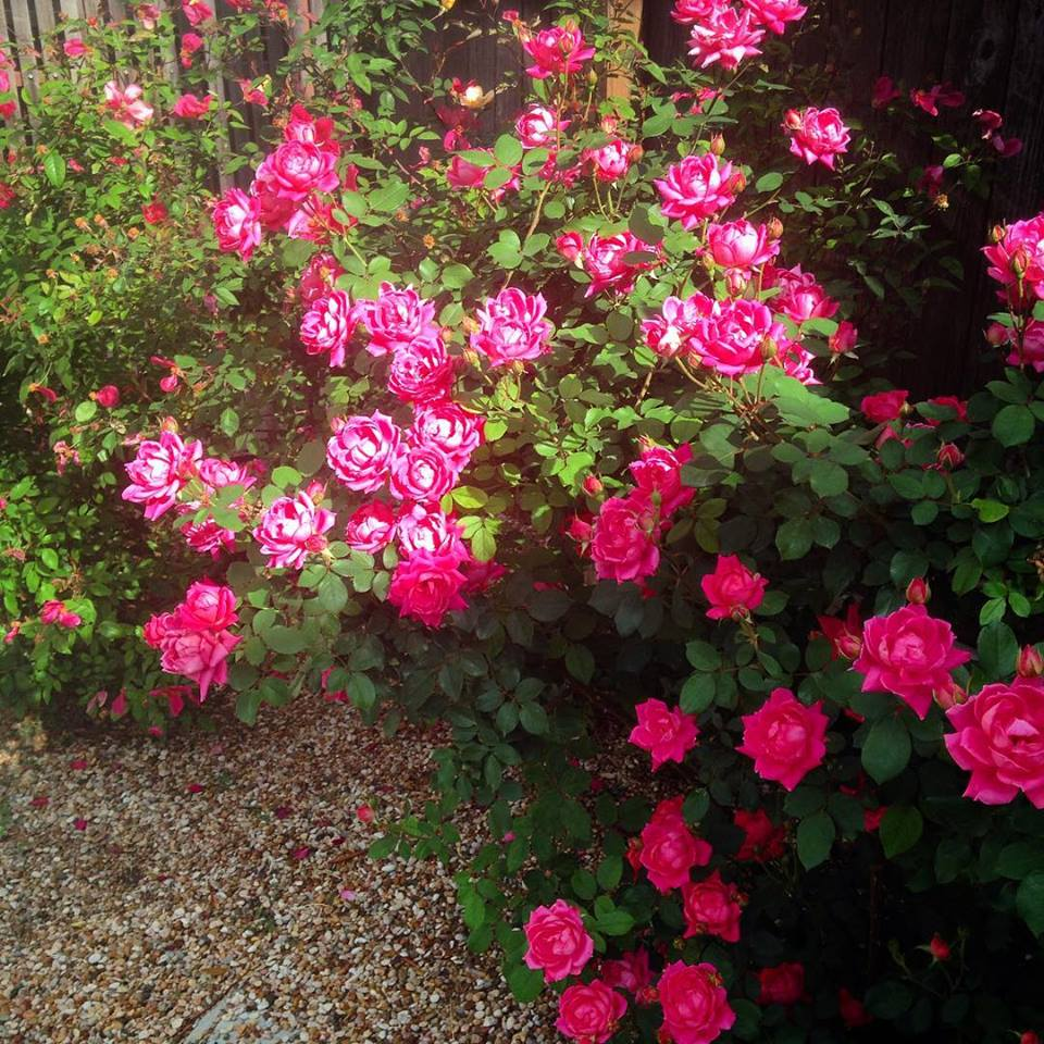 Texas roses in bloom.