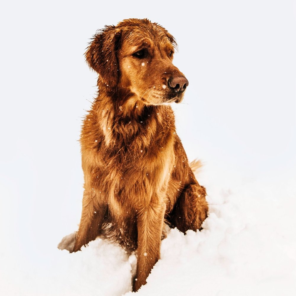 animal-canine-cold-872795.jpg