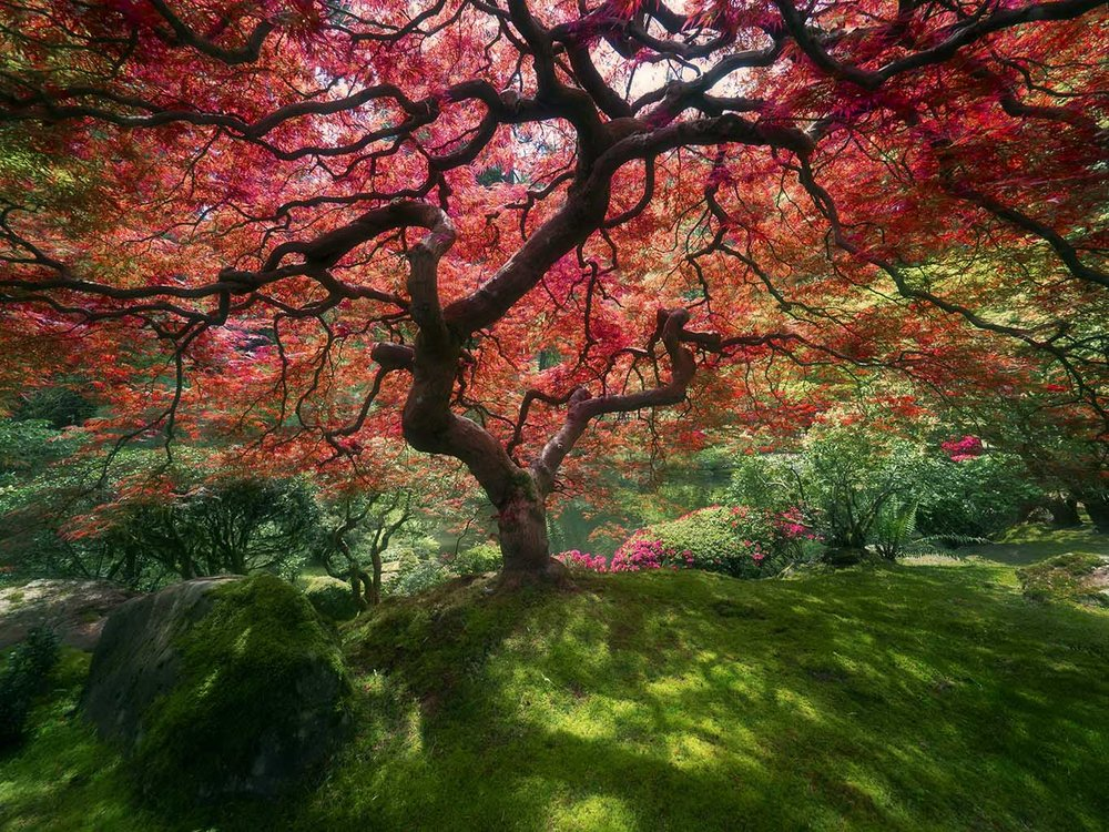 Japanese Maple, Portland Oregon