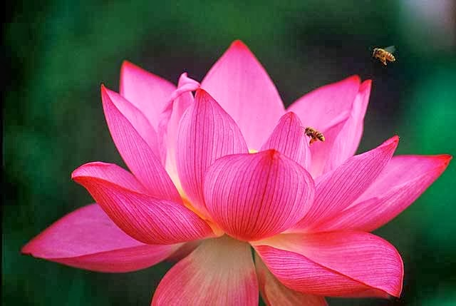 Red-Lotus-Bees.jpg