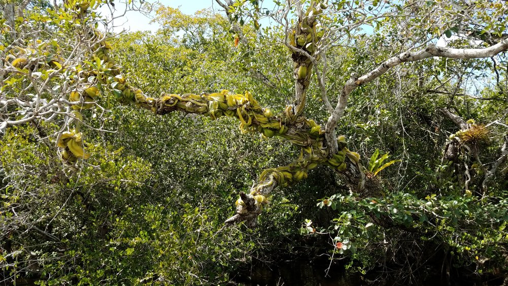 Snake cactus climbing the trees over the river