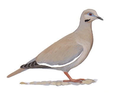 Dove illustration for the Audubon Society by David Allen Sibley.