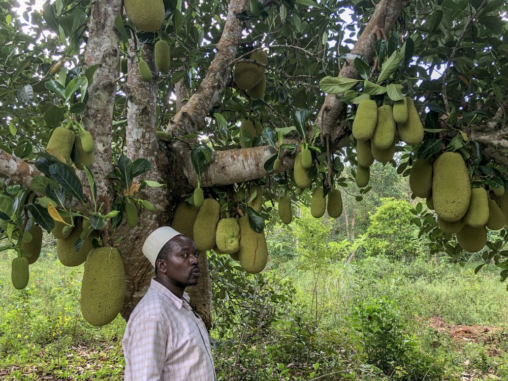 Jackfruit anybody? Watch your head in case they fall on you!