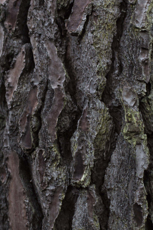 pine_13.JPG
