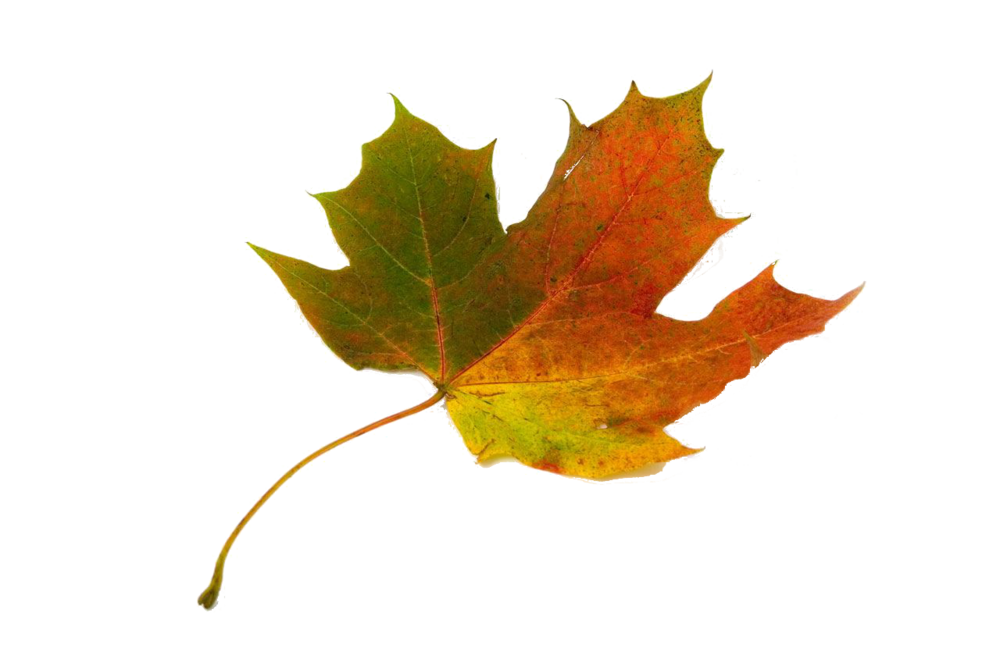 single-coloured-maple-leaf-on-white-background[1].png