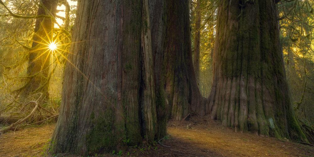 Cedar Sunburst-