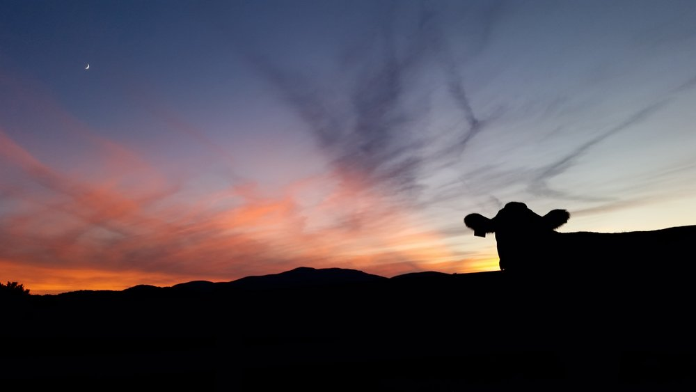 A cow friend came over to see what Lilly was doing (rolling on her back in the grass) as I was taking sunset pictures last week.