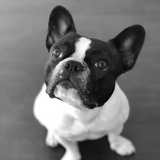 Happy Sunday! #dogs_of_world ❤️ Reminder - Join Team #petswant2help if you want to help make the world a better place! (link in bio) . . . #blackandwhitedog #puppyears #dogportrait #frenchiepup #mycutestfrenchie #dogsarefamily #puppylover #frenchielovers #blackandwhitepics #mannysbuddyoftheweek #frenchbulldogsofig #stella_and_friends