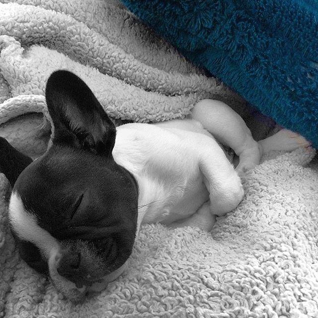Sleeping puppy 🐶 💤 . #sleepingpuppy #lazysunday #littlepuppy #frenchieworld #dogsofchicago #frenchiesofchicago #chicagofrenchies #chicagodog #blackandwhitedog #🐶🐶