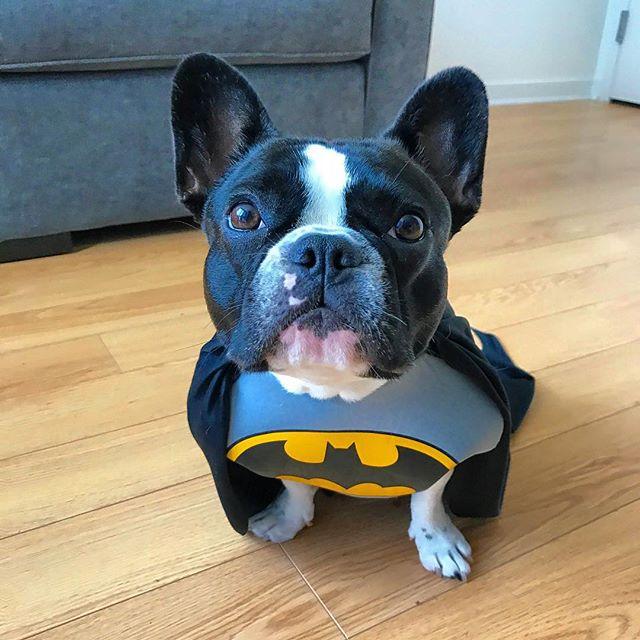 Na na na na na na na Batman! Happy Halloween 👻 . . . #chicagodogs #halloweencostume #puppycostume #chicagodog #dogsofchicago #frenchbulldogsofchicago #chicagopuppy #stella_and_friends #sonoeastapartments