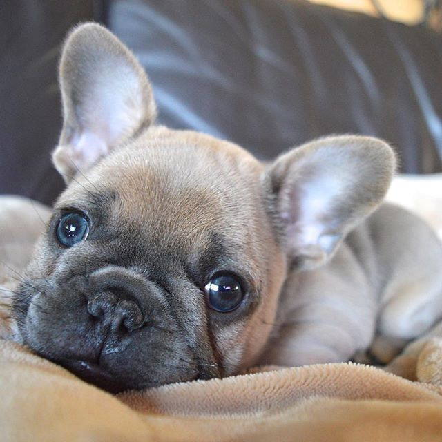 Look at those adorable puppy eyes 🥺 ❤️ 👉 @thefrenchielou . #frenchie1 #dogslife🐶 #frenchbulldog #cutepuppy #frenchiepuppy #puppyeyes  #dogsarefamily #puppycuteness  #stella_and_friends #topdogsofinstagram